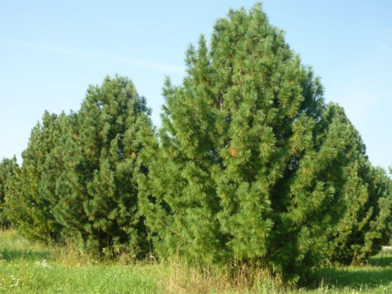 """Сосна кедровая европейская """"Pinus"""""""