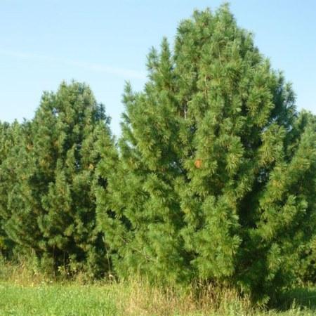 """Сосна кедровая """"Pinus"""""""