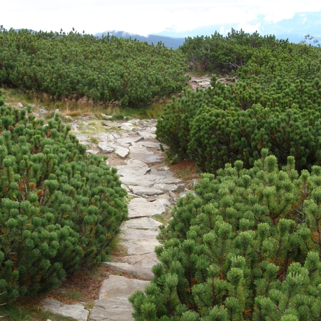 Сосна горная 'Pinus'