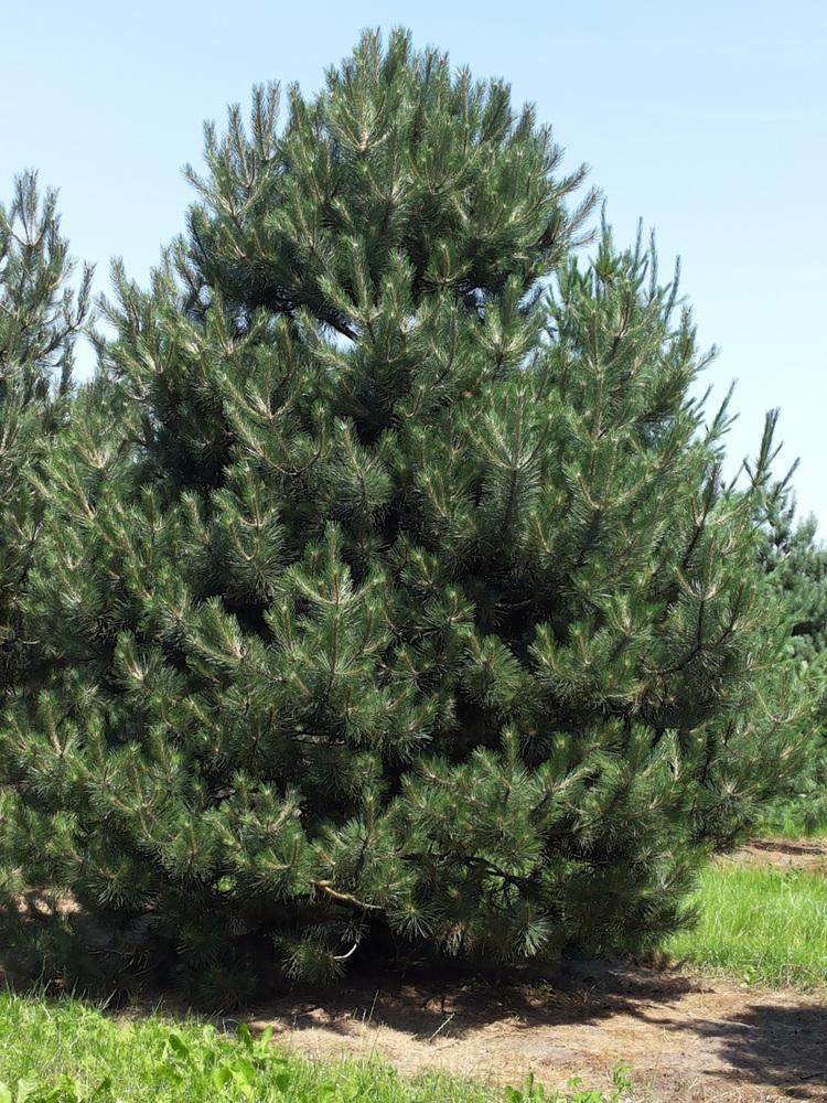 """Сосна черная """"Pinus"""""""