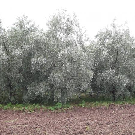 Ива белая серебристая 'Salix'
