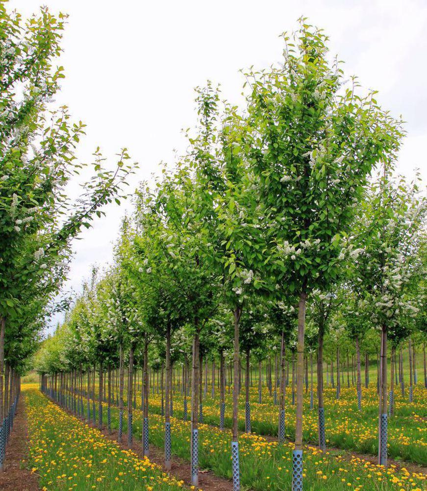 Черемуха обыкновенная 'Prunus'