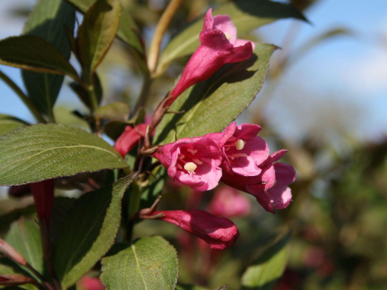 Вейгела цветущая Виктория ' Victoria'