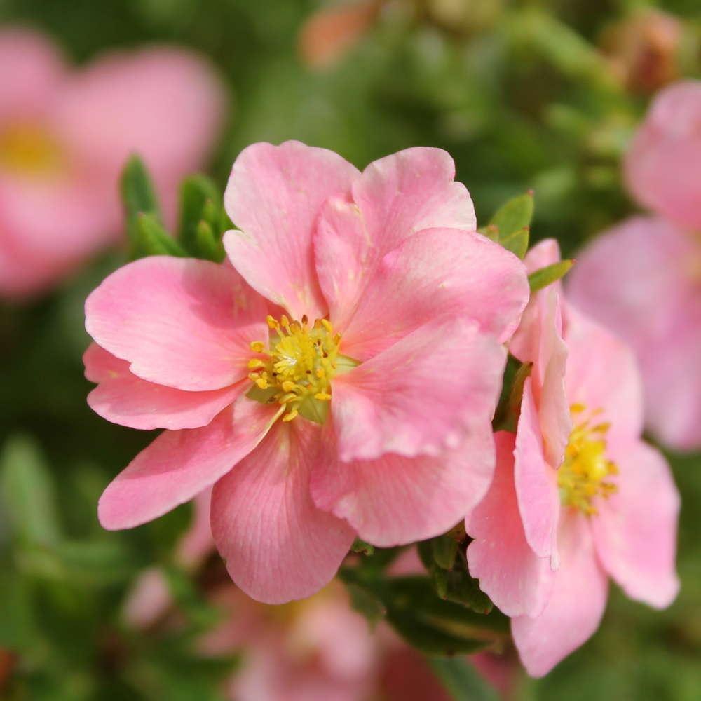 """Лапчатка кустарниковая Пинк Бьюти """"Pink Beauty"""""""