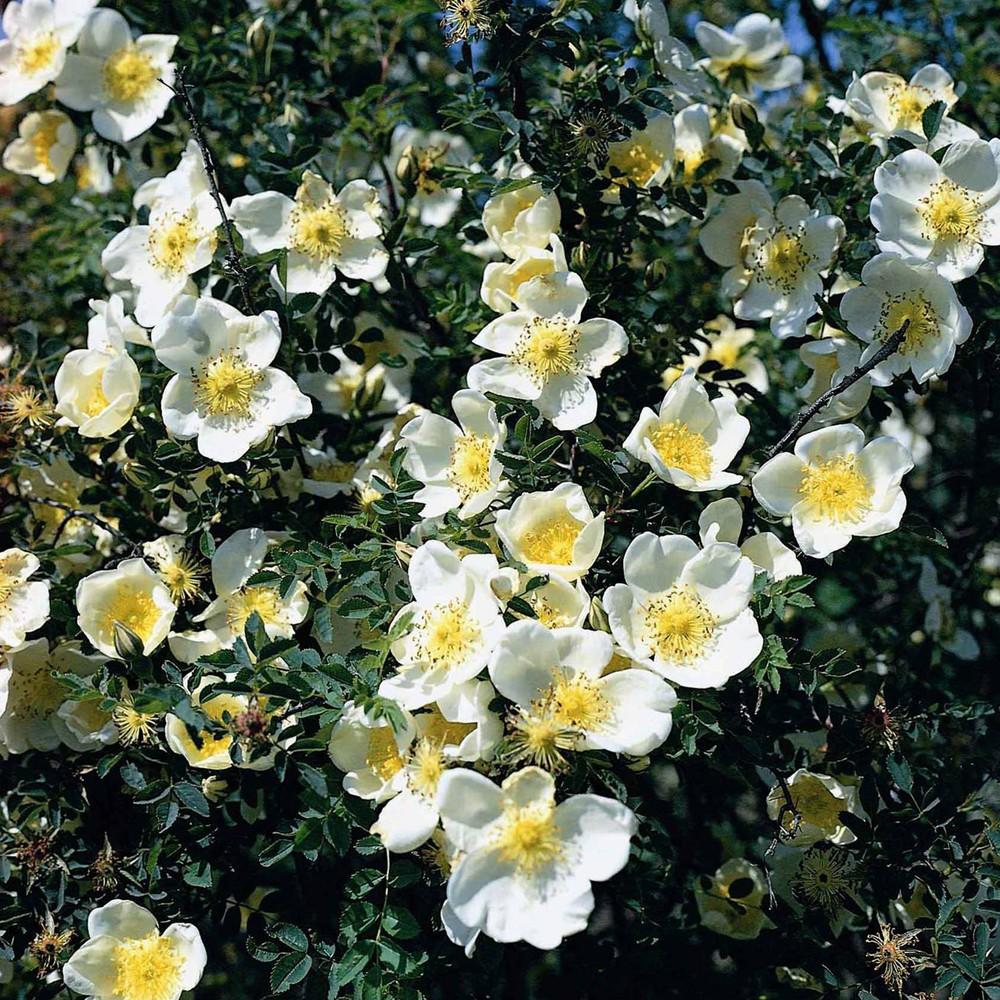 "Роза бедренцеволистная ""Pimpinellifolia"""
