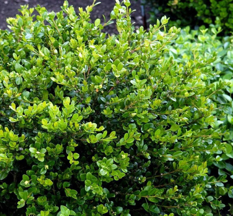 """Самшит вечнозеленый """"Buxus"""""""