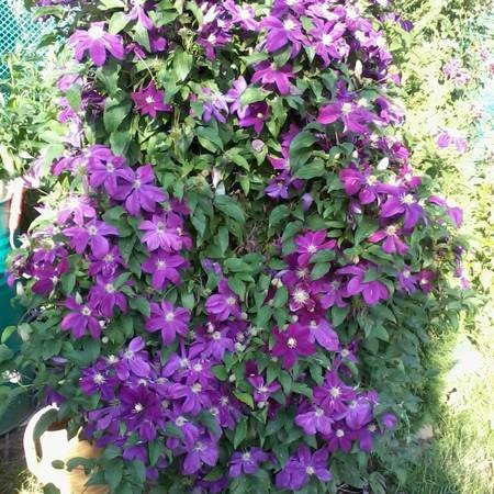 Клематис ботанический 'Clematis'