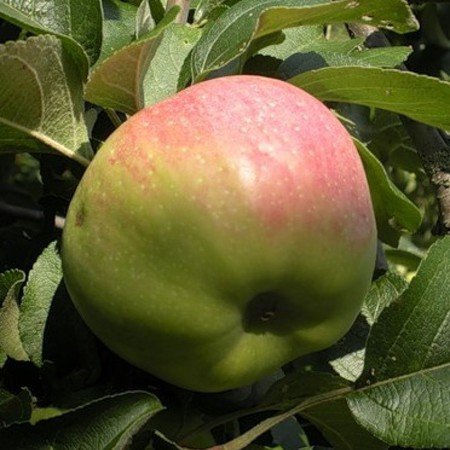 Яблоня Богатырь