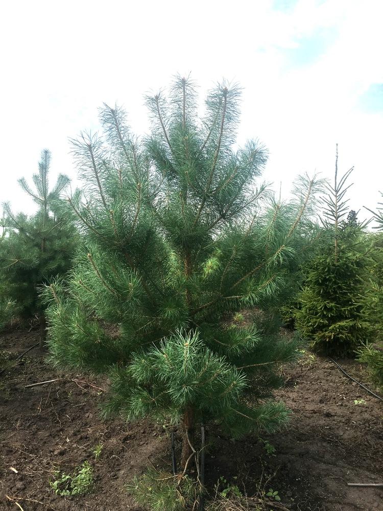 Сосна обыкновенная 'Pinus'