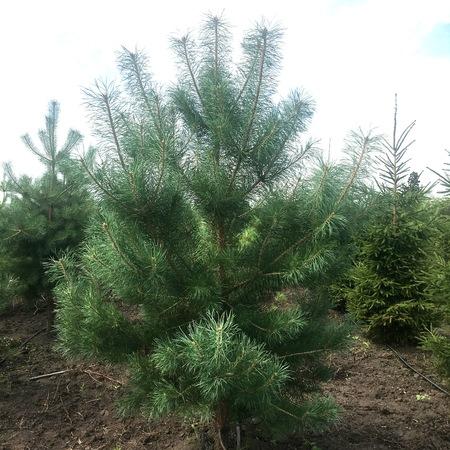"""Сосна обыкновенная """"Pinus"""""""