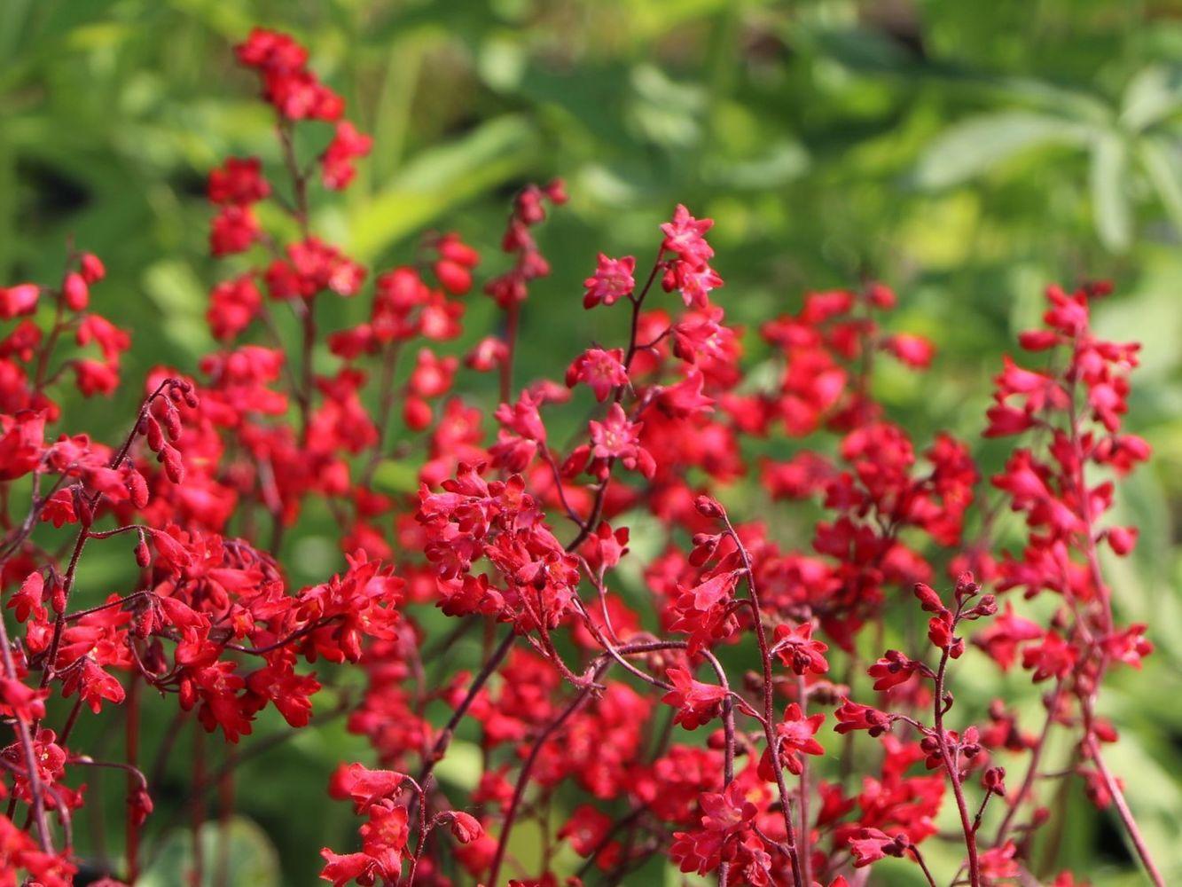 """Гейхера кроваво-красная """"Coral Forest"""""""