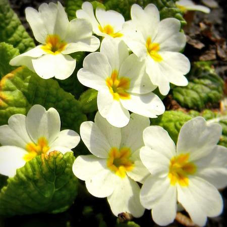 "Примула весенняя ""Primula"""