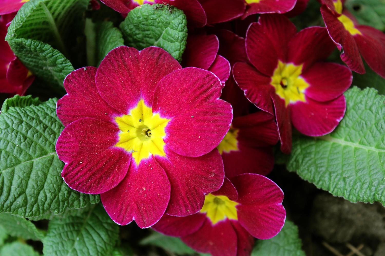 """Примула мелкозубчатая """"Primula"""""""