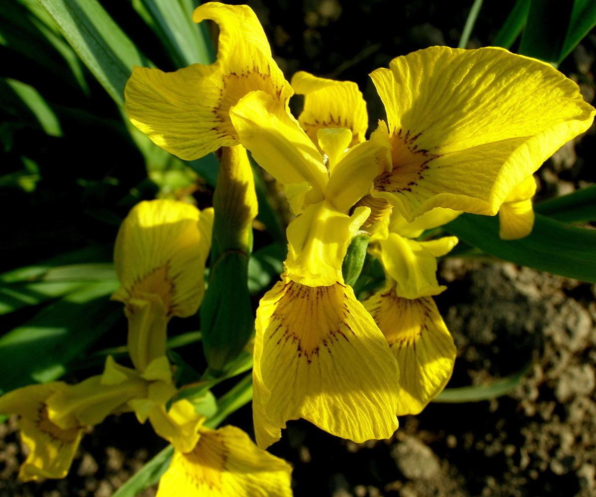 """Ирис болотный """"Iris"""""""