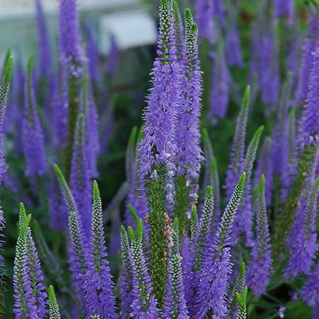 """Вероника колосковая """"Blue Bouquet"""""""