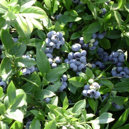 """Голубика садовая Блюкроп """"Bluecrop"""""""