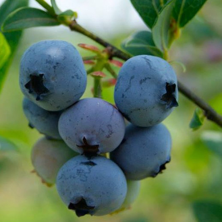 """Голубика садовая Бригитта Блю """"Brigitta Blue"""""""