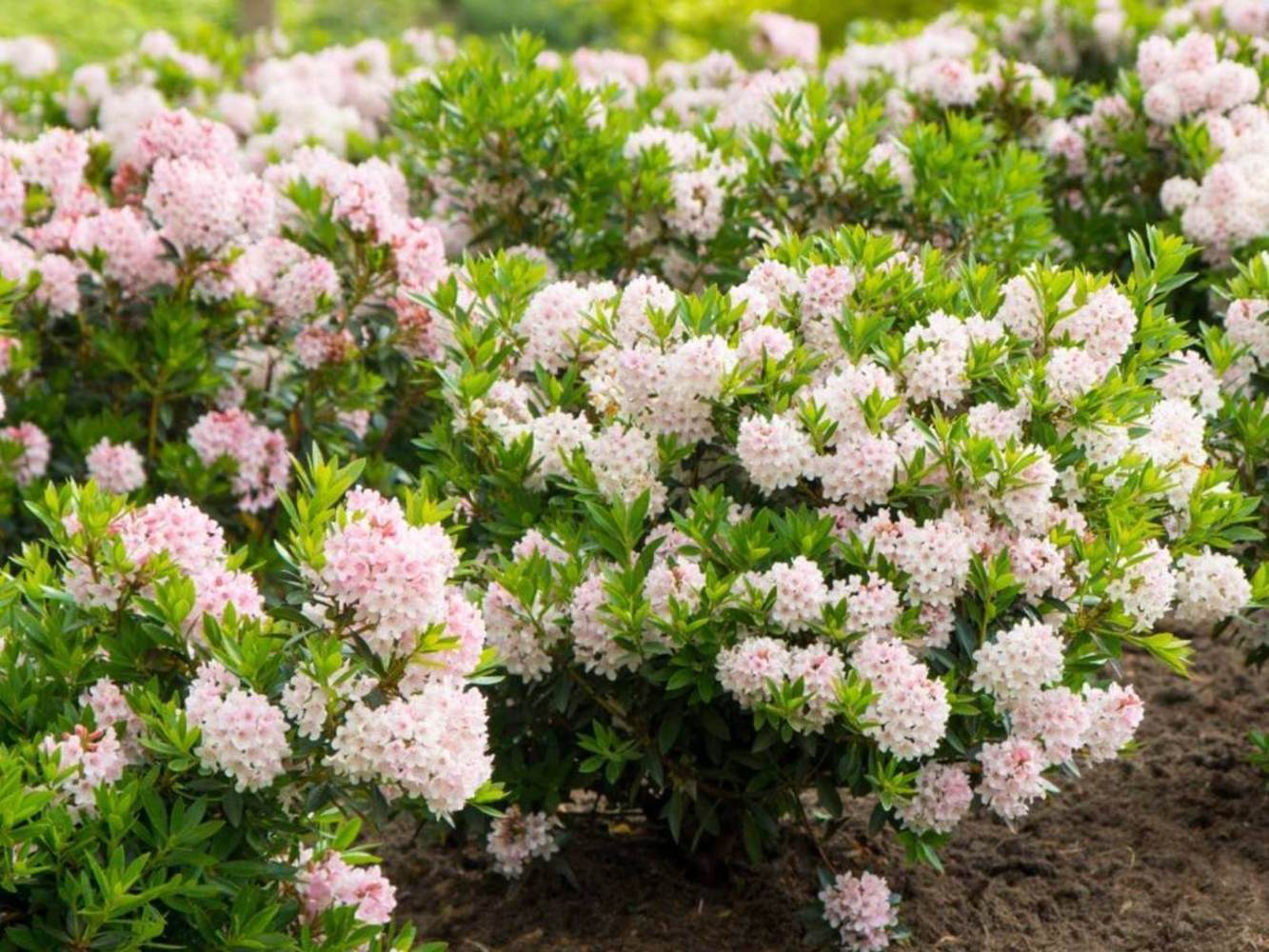 "Рододендрон мелкоцветковый Блумбукс ""Bloombux"""