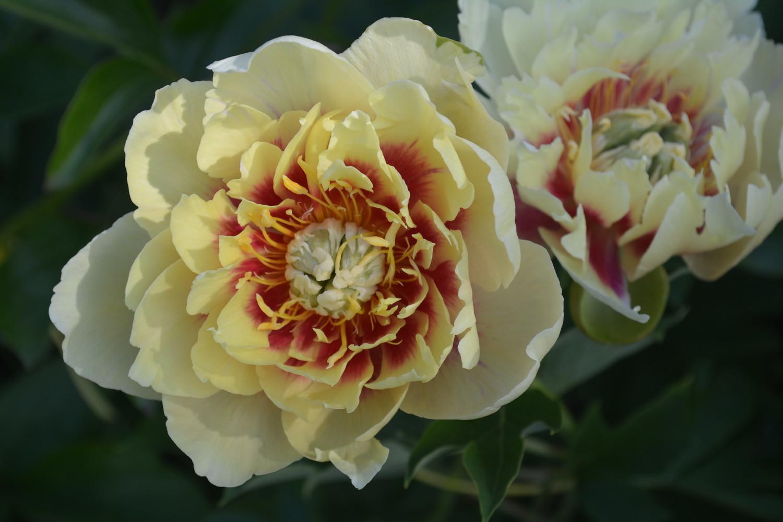 """Пион Гарден Треже """"Garden Treasure"""""""