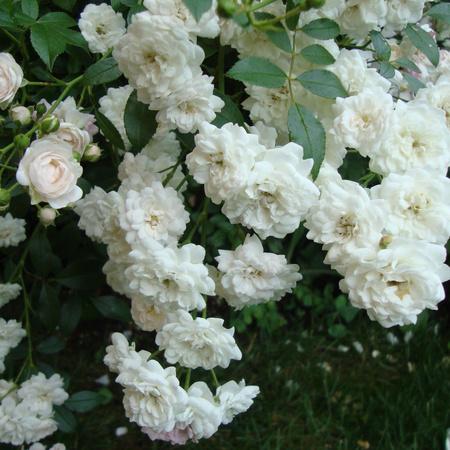 "Роза полиантовая Вайт Фейри ""White Fairy"""